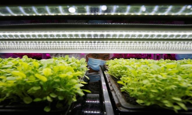 Trồng rau bằng đèn LED sản lượng 80 tấn mỗi năm 1